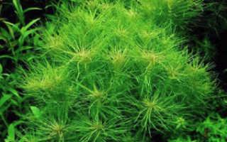 Погостемон эректус: описание водоросли, особенности содержания и размножения растения в аквариуме