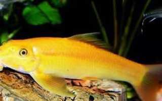 Гиринохейлус: содержание водорослееда, размножение золотого или желтого вида рыбки и совместимость