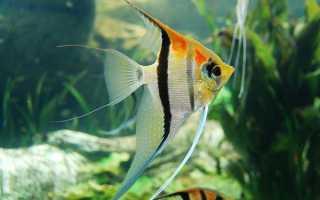 Рыбка скалярия: питание и уход, содержание и совместимость, аквариумное размножение