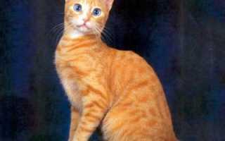 Новая порода охос азулес: описание кошек с голубыми глазами, правила содержания и уход