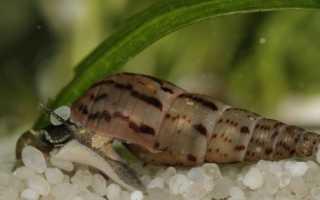 Аквариумные улитки мелания: особенности вида, содержание и размножение