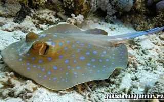 Морские скаты: где живут, отличительные черты и основные виды