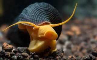 Как ухаживать за улитками в домашних условиях: содержание и кормление, аквариумные виды, маленькие и большие