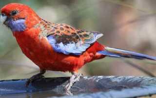 Попугай розелла пестрая: чем знаменит этот вид птиц, содержание и уход