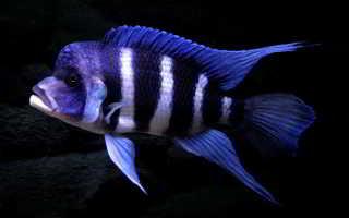 Рыбка фронтоза: обитание королевы Танганьики в природе, условия содержания цихлиды в аквариуме