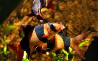 Описание боции и ее популярных видов: основные условия для содержания рыбки, питание, размножение