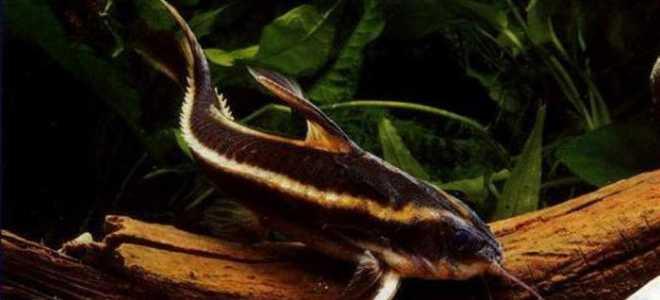 Платидорас полосатый (platydoras costatus): содержание, размножение и совместимость