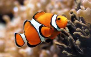 Рыбка Немо: особенности содержания рыбы-клоуна и уход за ней