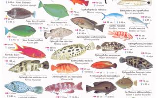 Окунеобразные рыбы: описание и характеристики, морские и пресноводные представители отряда