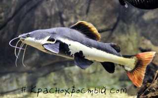 Краснохвостый сом: необходимый аквариум для содержания фрактоцефалуса
