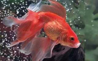 Сколько лет живут рыбки гуппи: грамотное обустройство аквариума для вуалехвостов и продление жизни питомцев