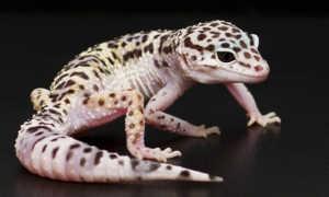Леопардовый (пятнистый) эублефар: содержание в домашних условиях и правильный уход
