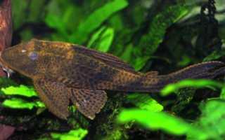 Плекостомус золотой: описание вида и особенности содержания рыбки, размножение hypostomus plecostomus
