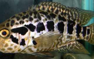 Манагуанская цихлазома: описание, уход и содержание, размножение ягуаровой цихлиды в домашних условиях