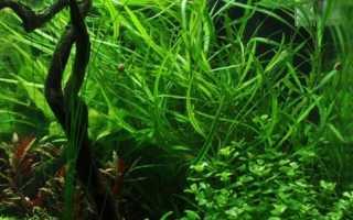 Гигрофила: фиолетовая, иволистная и другие виды, содержание и размножение в аквариуме