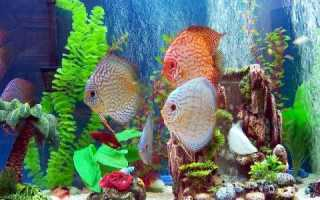 Рыба дискус: условия содержания и разведения аквариумного обитателя, уход за ним