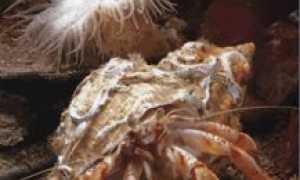 Рак-отшельник и актиния: пример удачного и взаимовыгодного симбиоза, польза сосуществования