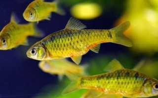 Особенности поведения барбусов в аквариуме: способность уживаться с меченосцем, золотой рыбкой и другими видами
