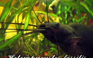 Рыбка мешкожаберный сом: аквариумное содержание и размножение