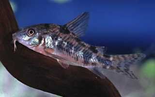 Коридорас крапчатый: уход, кормление и размножение сома Corydoras paleatus