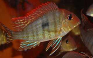 Геофагусы: наиболее распространенные виды, условия содержания и размножение рыбок