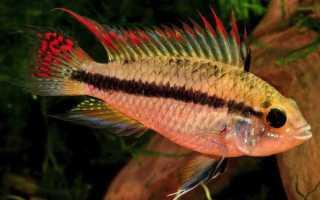Апистограмма какаду (apistogramma cacatuoides): содержание рыбки цихлиды в домашних условиях, жизнь в природе