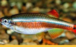Рыбка кардинал: уход и содержание в домашних условиях, разведение и совместимость