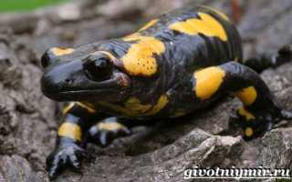 Огненная саламандра: среда обитания и характеристики вида, образ жизни и особенности размножения земноводного