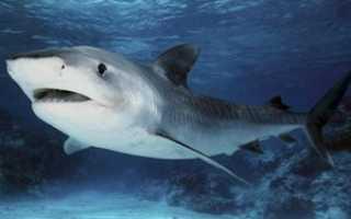 Акула это рыба или млекопитающее: характерные признаки рода, сходство с китами, безопасные виды