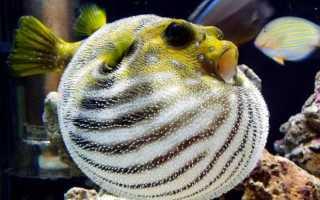 Рыба, которая надувается как шар при опасности (рыбка-колючка): описание, виды, содержание в домашних условиях