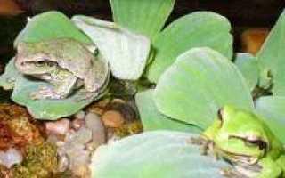 Квакша обыкновенная: лягушка в квартире и правила содержания её в домашних условиях