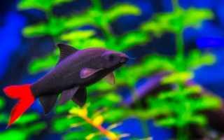 Рыбка лабео биколор: содержание в аквариуме, совместимость с другими видами