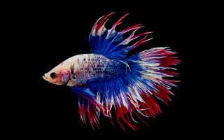Бойцовая рыбка-петушок: описание и особенности, содержание и уход