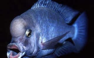 Голубой дельфин: описание аквариумной рыбки, условия содержания, кормления и разведения в домашних условиях