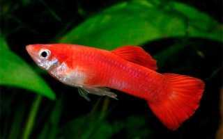Неприхотливые в уходе аквариумные рыбки: наиболее выносливые, красивые и неприхотливые в уходе виды рыб
