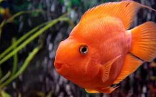 Рыба-попугай: правила содержания и кормления, уход за аквариумными попугайчиками