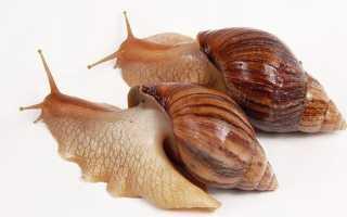 Ахатина фулика: описание вида achatina fulica, особенности питания и размножения