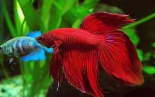 Самка петушка: отличия от самца, особенности содержания рыбки в аквариуме