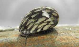 Теодоксус: особенности содержания аквариумной улитки, размножение в домашних условиях, польза моллюска