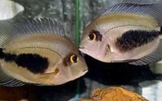 Уару чернопятнистый: содержание в аквариуме, правильное кормление и размножение цихлид