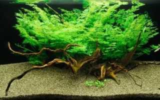 Таиландский папоротник: основные разновидности аквариумного растения, правила ухода и содержания в аквариуме