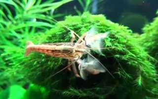 Креветка фильтратор: особенности вида, содержание и размножение атиопсиса в аквариуме