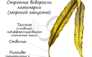 Водоросль спирогира: биологические характеристики, разновидности, цикл развития и способы размножения
