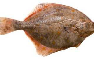 Тюрбо: отличие от камбалы, внешний вид и использование рыбы в кулинарии