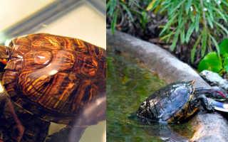 Чем кормить красноухую черепаху: подбор рациона питания, что можно давать, кроме готовых кормов