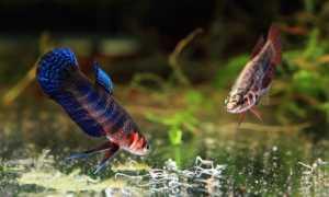 Аулофорус в аквариуме: разведение в домашних условиях, польза и вред выращивания