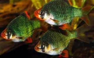 Зеленый мшистый барбус: содержание, размножение в аквариумных условиях, как ухаживать за суматранским мутантом