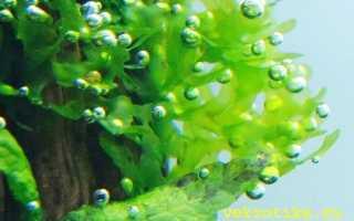 Папоротник ломариопсис линеата : описание и распространение в природе, содержание в аквариуме, как сажать