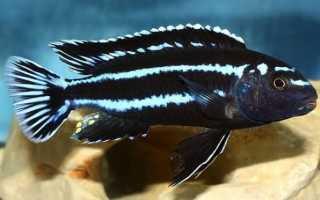 Содержание и уход за аквариумной рыбкой меланохромис майнгано: ареал обитания цихлид, кормление