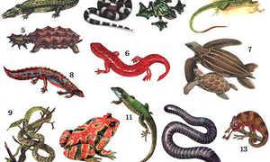 Разнообразие видов домашних ящериц: содержание пресмыкающихся питомцев